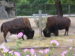 NOT buffalo. Bison.